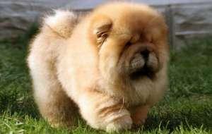 松狮犬感冒了怎么治疗?